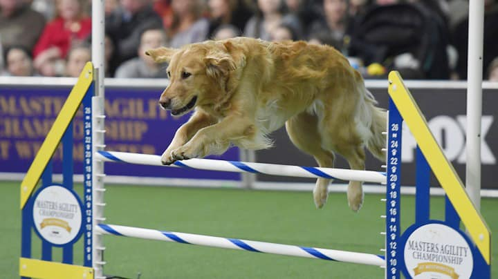 2020 Dog Show.Westminster Dog Show Schedule 2020 And How To Wacth Free