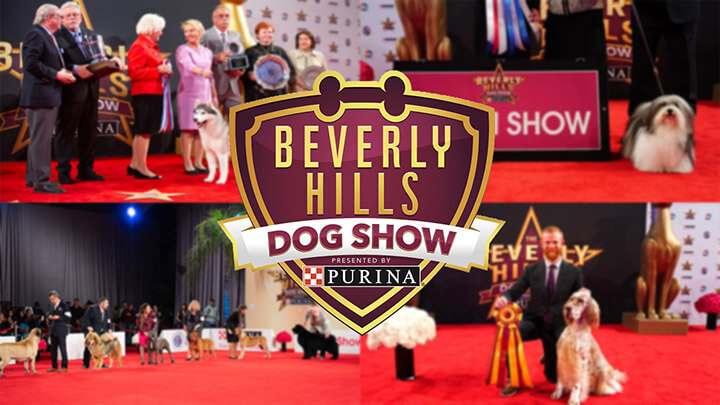 Beverly hills dog show live stream (1)