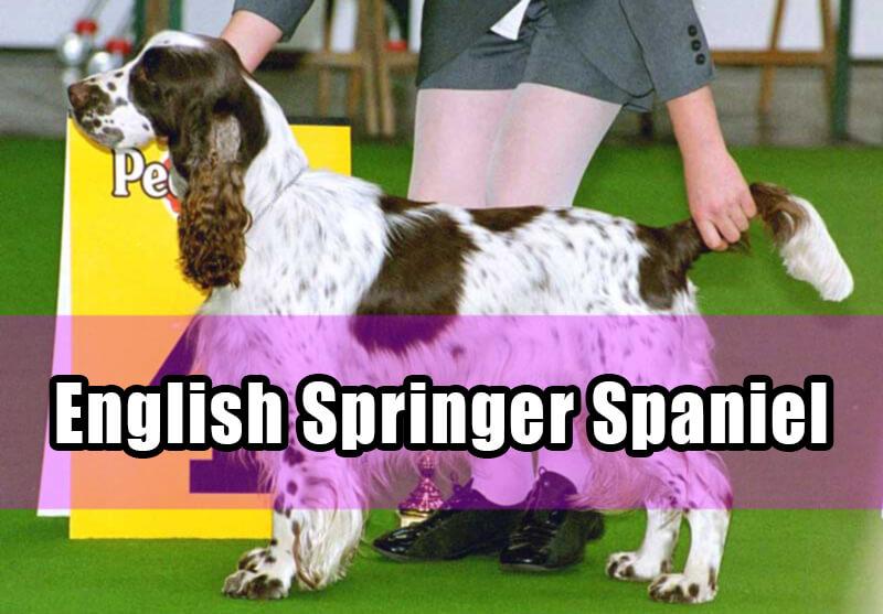 english springer spaniel in dog show