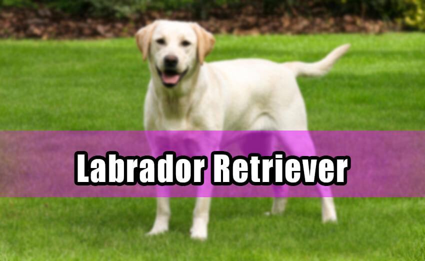 labrador retriever in dog shows