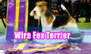 wire fox terrier in dog shows