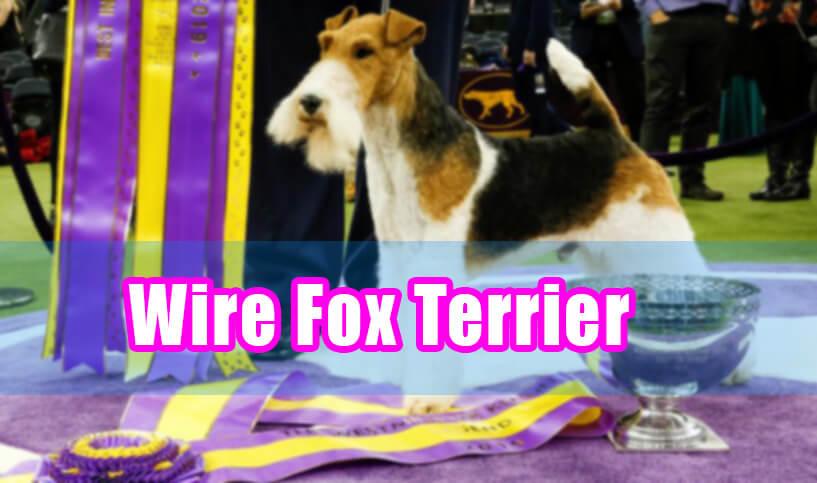 wire fox terrier in dog shows